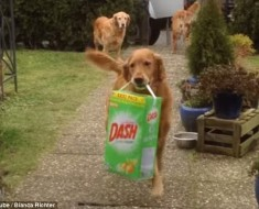 2D34B7F600000578-3265207-A_dog_carried_a_big_container_of_washing_powder_which_dangled_fr-m-95_1444321269171