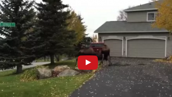 EPIC MOOSE BATTLE IN QUIET ALASKAN SUBURB