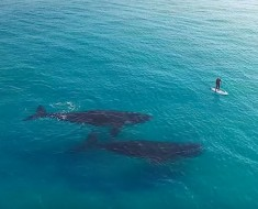 southern-right-whales-paddle-board-drone-screenshot-jaimen-hudson
