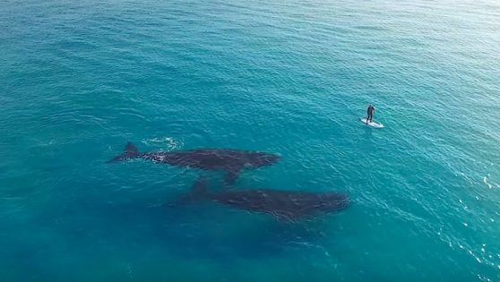 Paddleboarder's Peaceful Encounter with Two Whales Captured by Drone (WATCH)