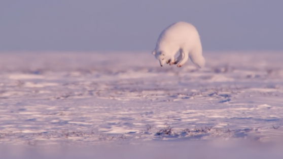 Young And Hungry: The Arctic Fox